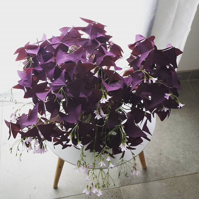 the delicate triangular purple leaves really stand out among more common green leafed houseplants