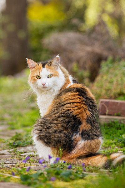 Sidewalk Shoes Calico cat in yard