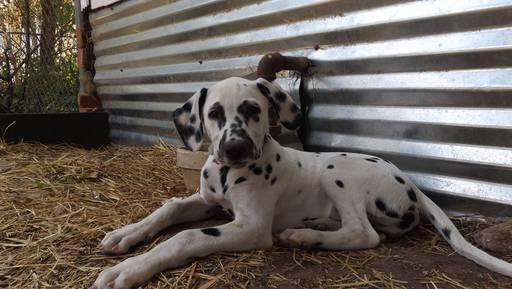 Dalmatian puppy for sale in GARBER, OK. ADN-44775 on ...