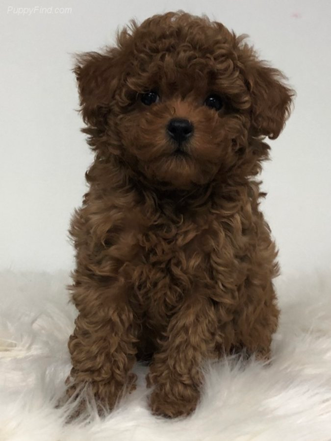 Beautiful Dark Red Maltipoo Male Versace Is So Sweet In Carver Minnesota Hoobly Classifieds In 2020 Red Maltipoo Red Poodles Cute Puppies