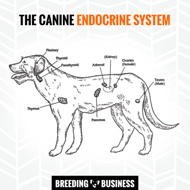 How to calm a bitch in heat season our top 9 tips pinterest diagram of the hormonal glands in the dog endocrine system ccuart