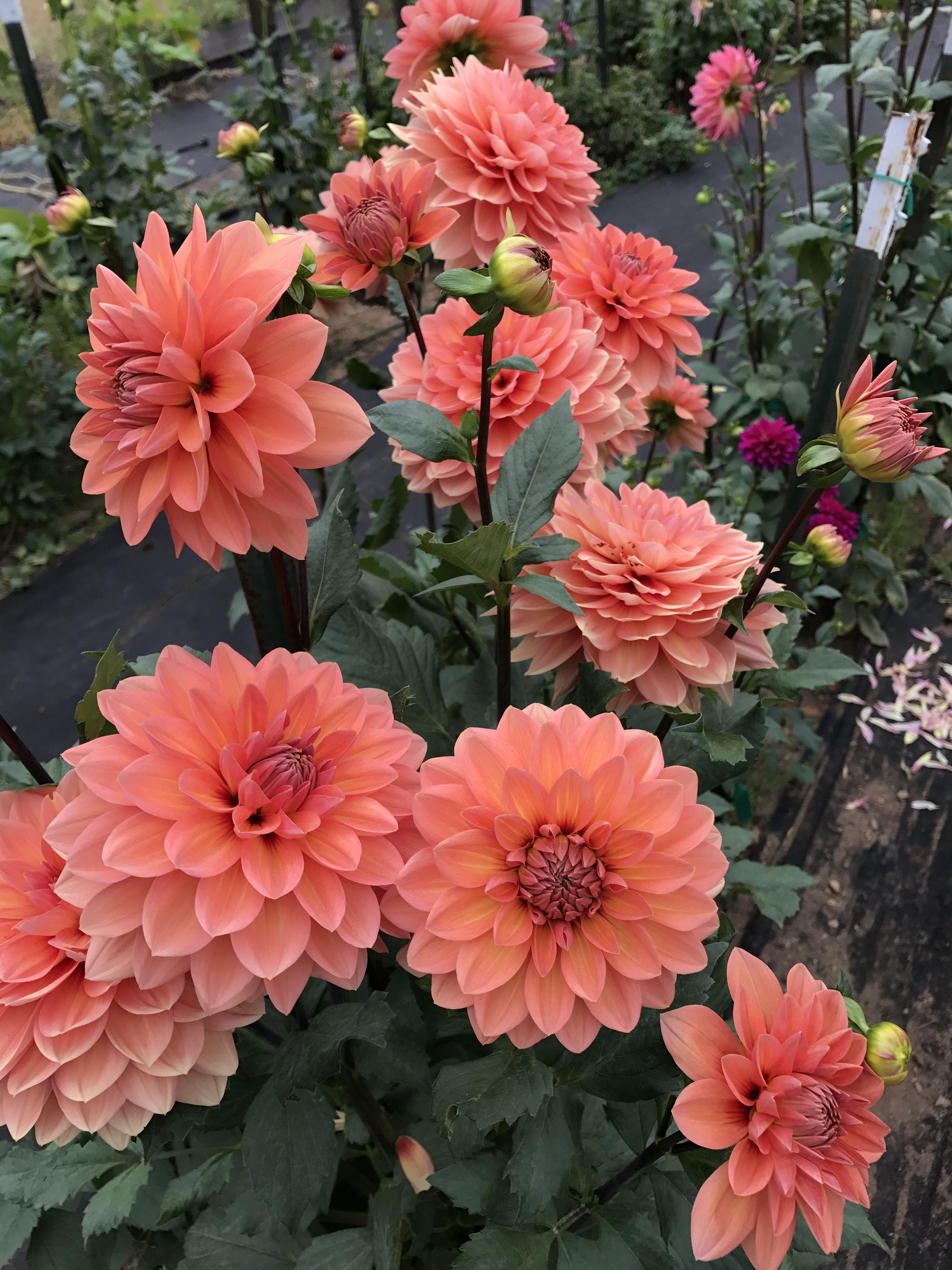 Pin On Dahlia Garden