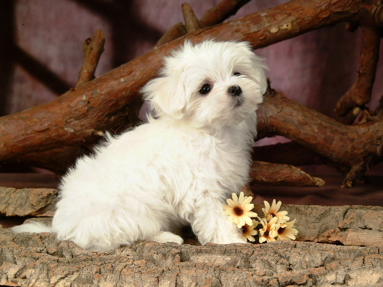 Cute White Fluffy Puppy Dogs With Images Cute White Puppies