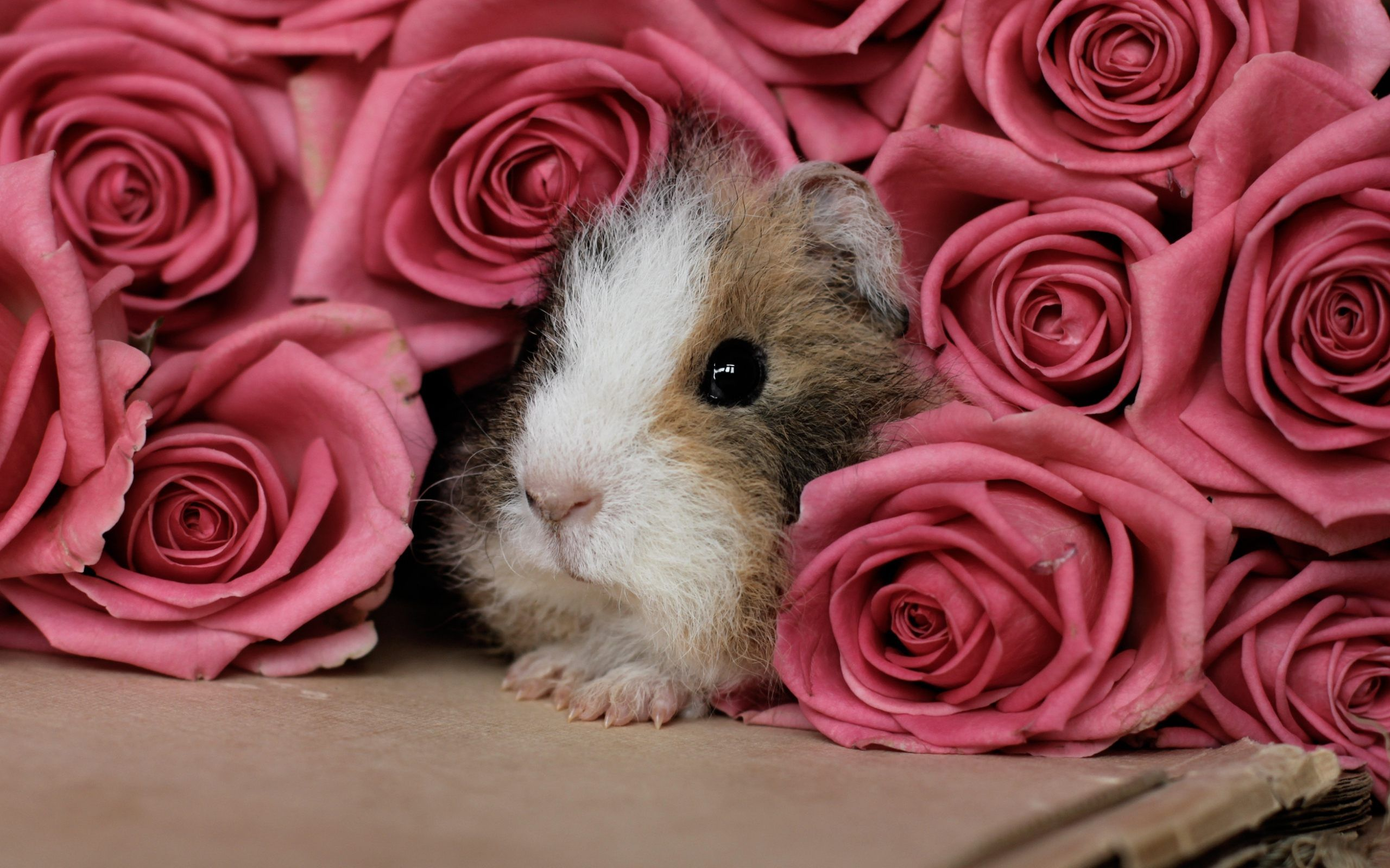 Guinea Pig Wallpapers HD Download