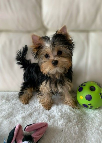 Purebred tiny teacup Yorkie puppies. Have you been