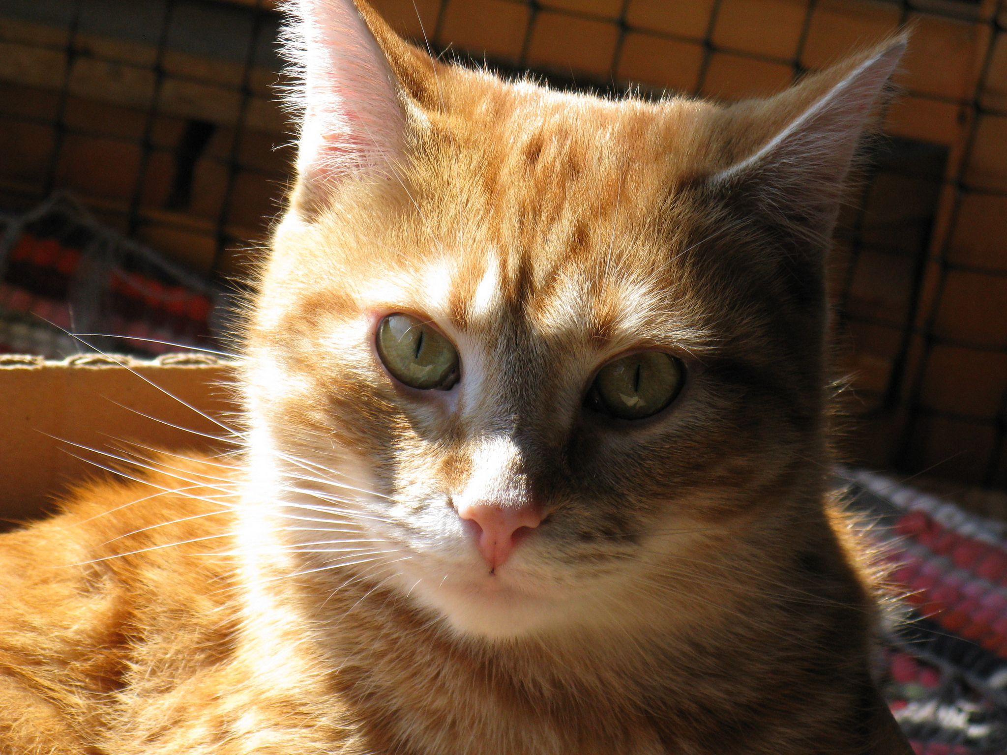 Manx Kittens for Sale & Cats for Adoption Sweetie Kitty