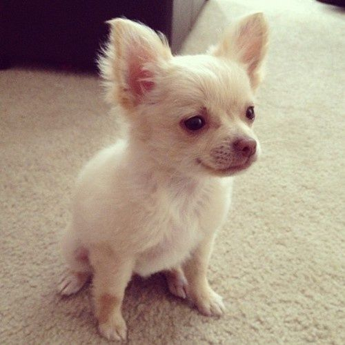 Long Haired Chihuahua Puppies Found On Clipbordnhb Tumblr Com