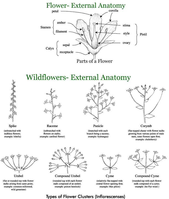 wildflower-external anatomy | For coming back to again and again ...