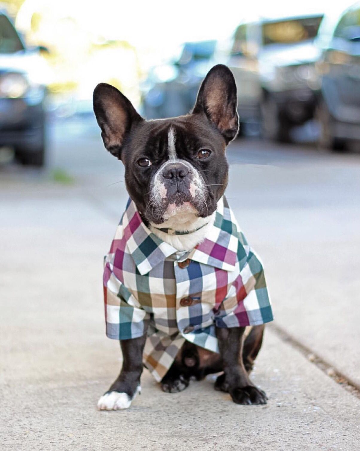 Frenchies In Clothes By Dog Threads Dapper Dogs Hipster Dog
