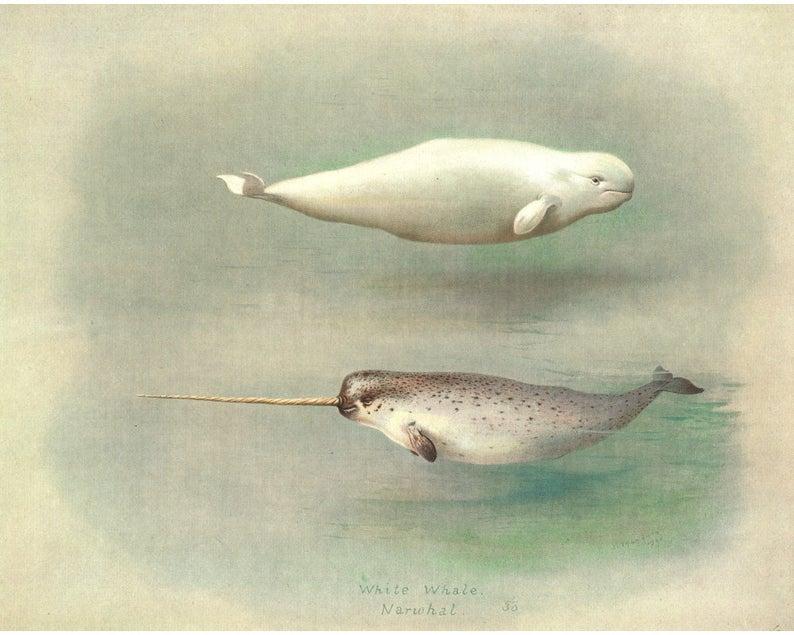 Narwhal art print, Beluga painting, Marine mammals art