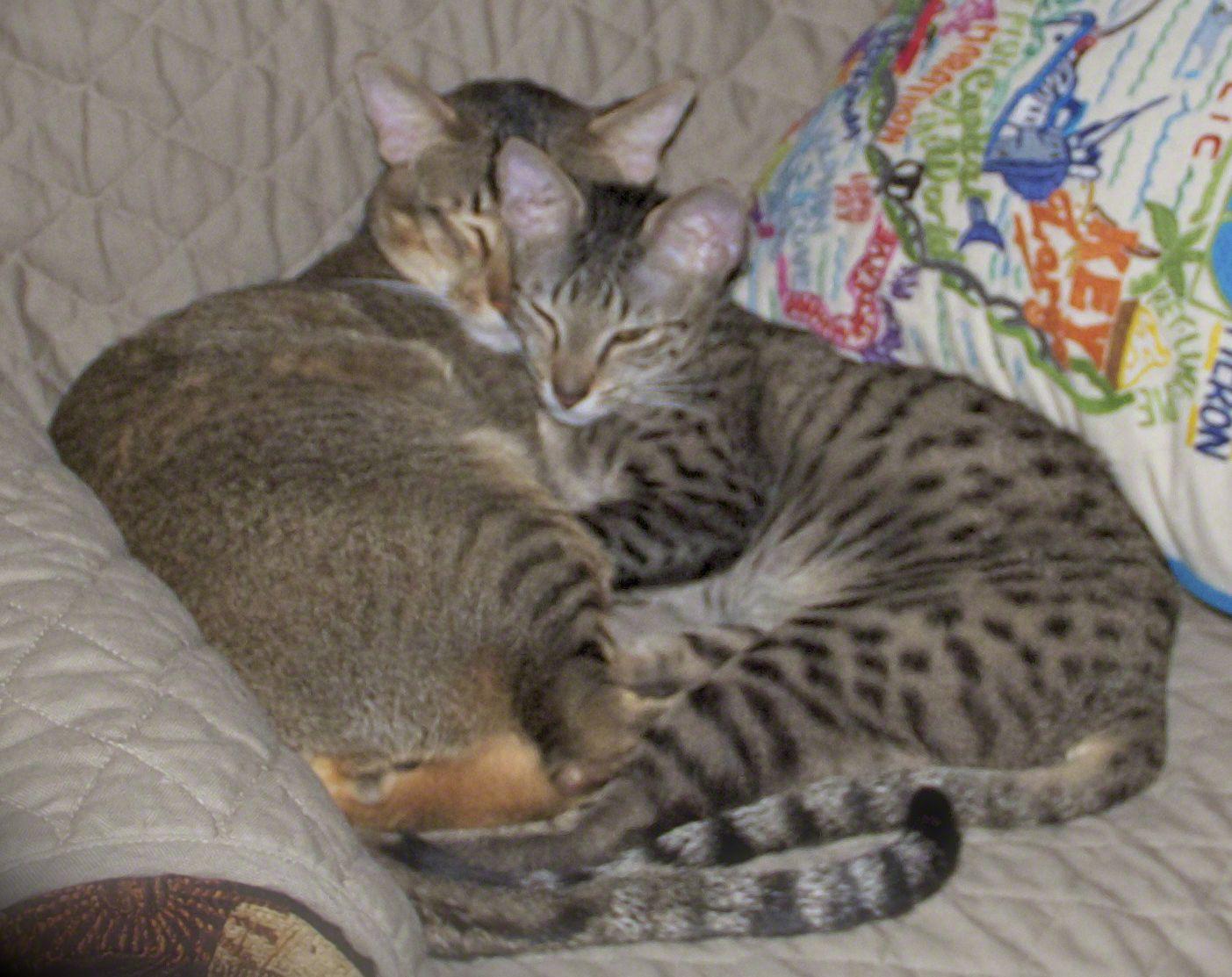 Zuri F4 Sbt Savannah And Taj F6 Sbt Savannah Spotted Cat Pets