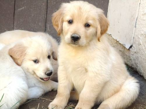 Cool Adorable Puppies Puppies Collie Puppies Dogs