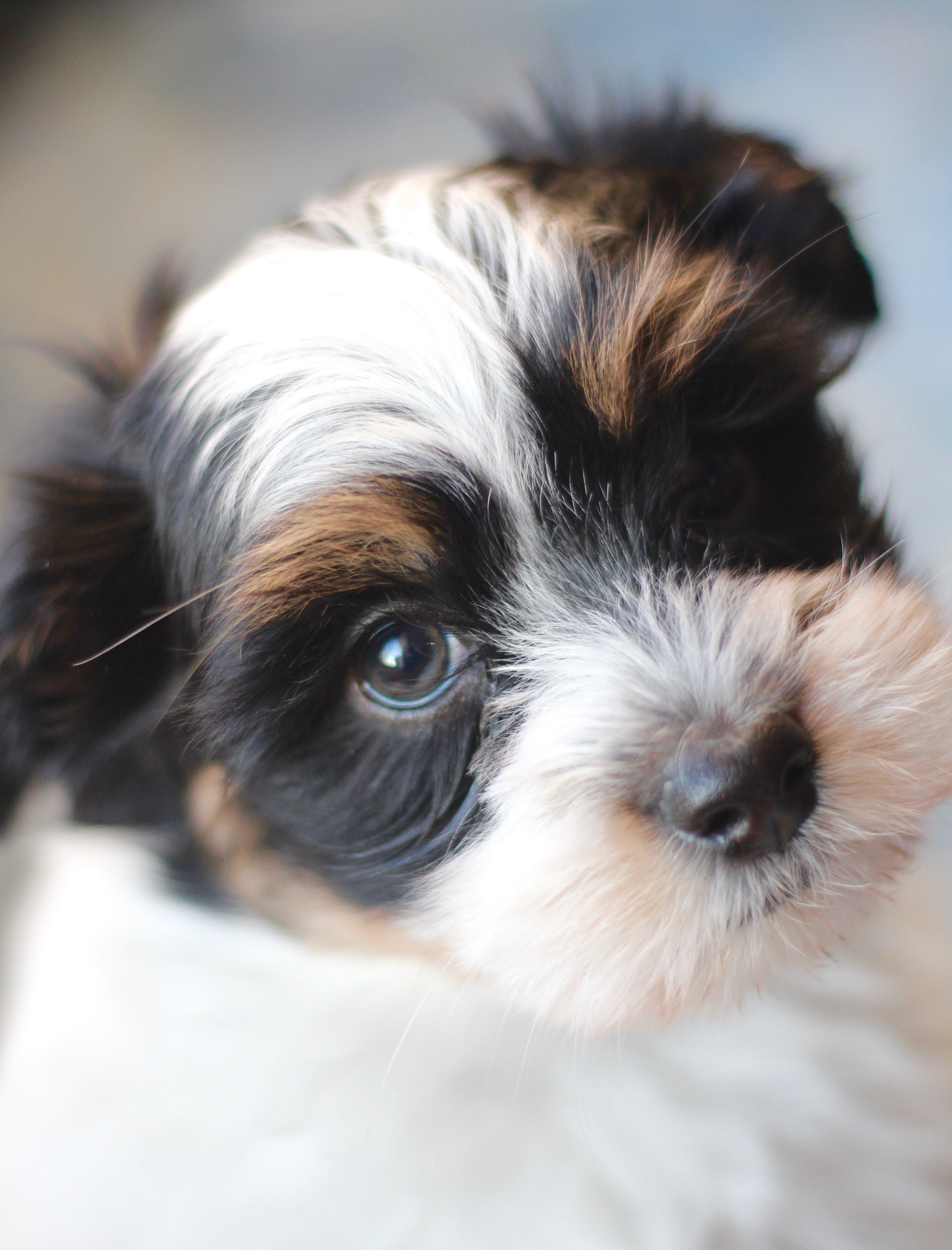 Bichon Shih Tzu Puppy Shichon Zuchon Www Babybarks Ca Shih Tzu Puppy Shih Tzu Teddy Bear Dog
