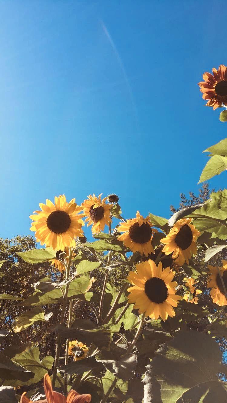 Sunflower wallpaper, Flower wallpaper