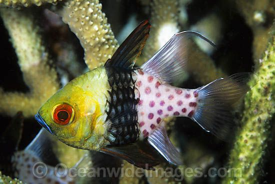 Pyjama Cardinalfish Sphaeramia Nematoptera Photo 24m1009 06 Fish Fish Pet Image