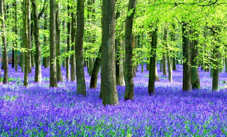 Field of bluebells and woodland: For any woodland owner, large or small, who may not have the time or feel they have the expertise to manage their woodlands, the following services are available: 1) Applications to the Forestry Commission's English Woodland Grant Scheme (EWGS);  2) Felling licence applications to Forestry Commission; 3) Woodland inventory and mensuration; 4)Preparation and revision of woodland management plans.