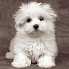 Pin By Henry Vollenweider On Dogs Maltese Breed Cute Dogs Cute Puppies