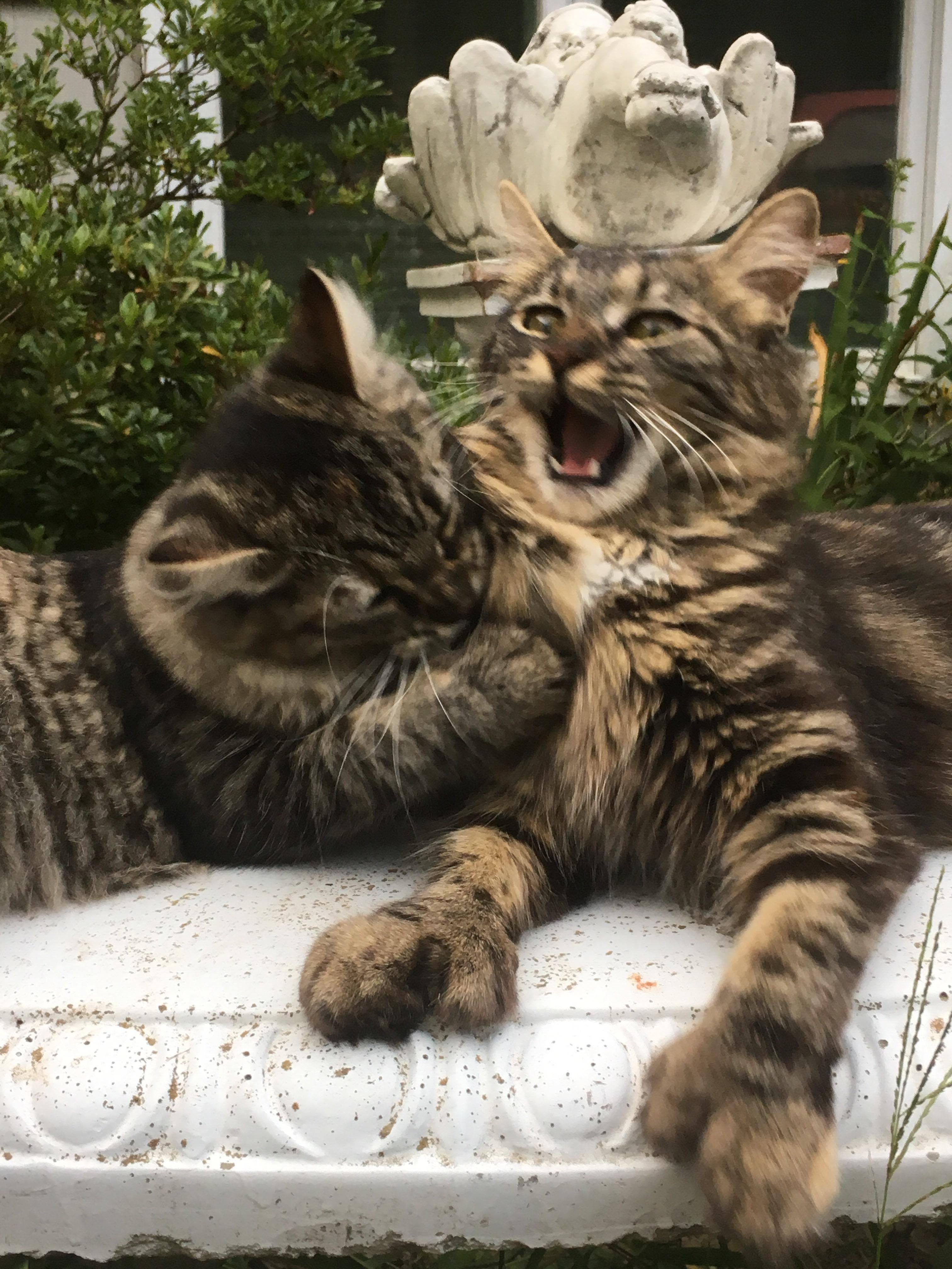 Just Two Maine Coon Sisters Playing Together #Cats