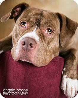 Minneapolis Mn English Bulldog American Staffordshire Terrier