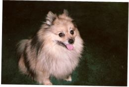 How To Groom Your Pomeranian At Home Pomeranian Groom Groomer