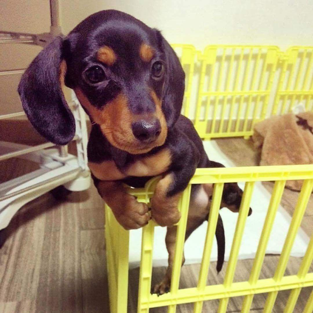 Waiting Patiently For Mom Dachshund Dog Funny Dachshund Baby