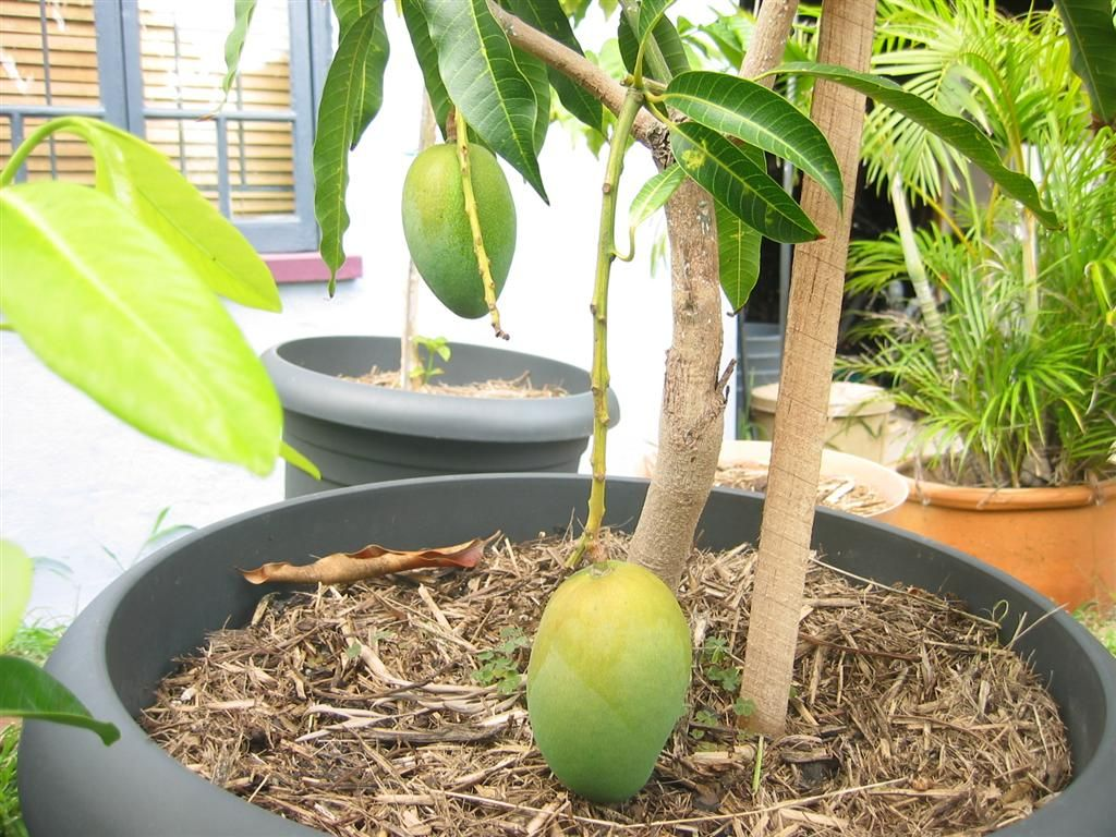 planting mango tree with hazards Dwarf mango trees are perfect as container grown mango trees they only grow to between 4 and 8 feet they do well in usda zones 9-10, but you can fool mother nature by growing them indoors if you can fulfill the mangoes heat and light requirements or have a greenhouse.