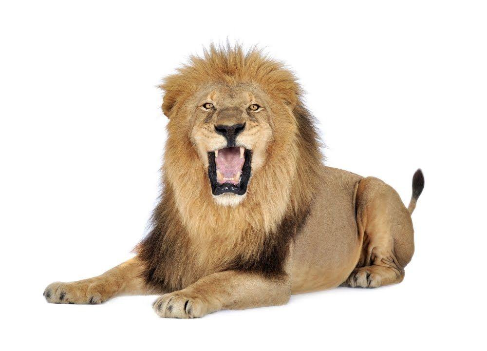 تفسير رؤية الاسد واللبوة في المنام Lion Lion Clipart Lion Panthera