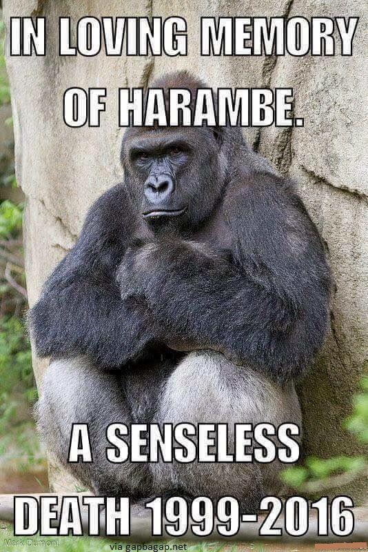 in loving memory of harambe awww pinterest primate funny