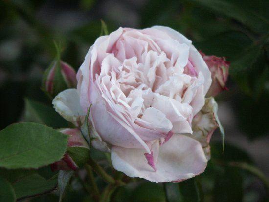 rosen kordes katalog kordes� herkules™   i dream of a garden   rosen