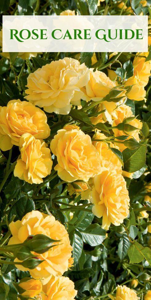 A Beginner S Guide To Growing Roses Growing Roses Roses Garden Care Rose Garden Design