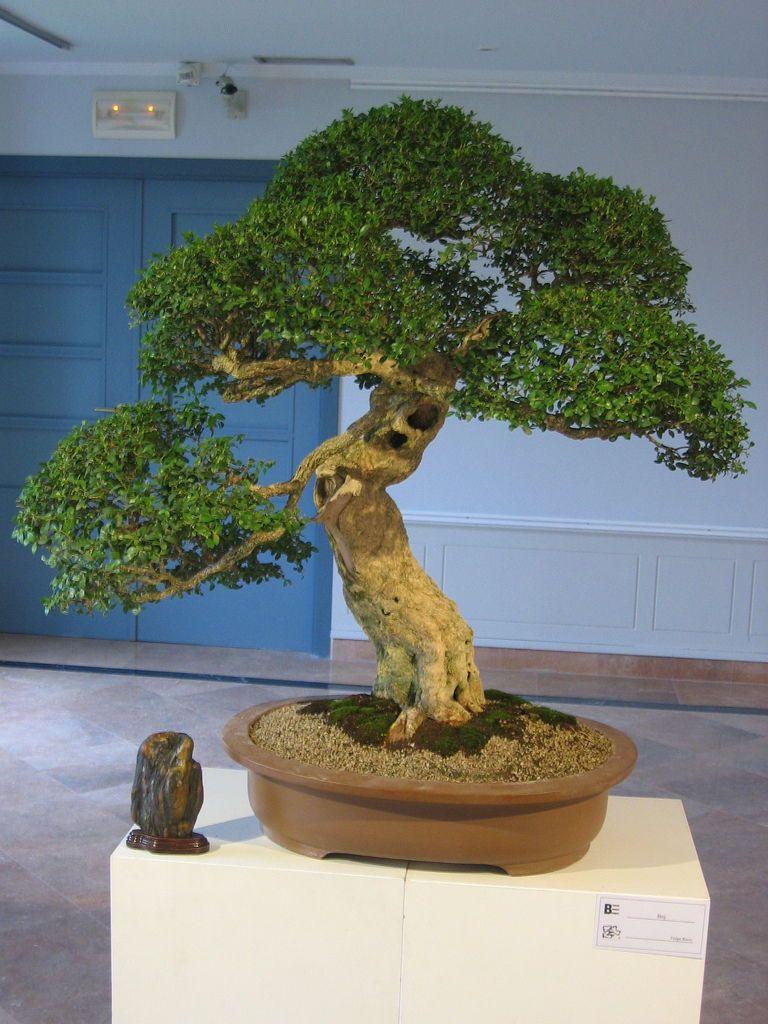 Outdoor Bonsai Tree for Beginners Specimen Bonsai