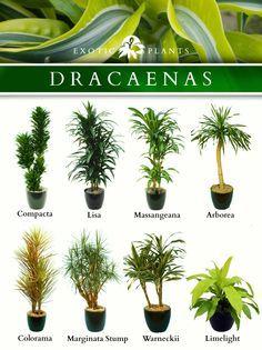Latin Name: Dracaenas; Common Name: Bamboo plant, corn plant and ...