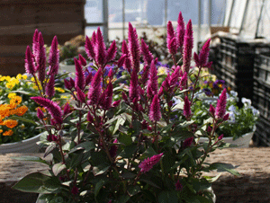 Celosia Flowers To Attract Pollinators Asian Garden Annual Flowers Indoor Flowers