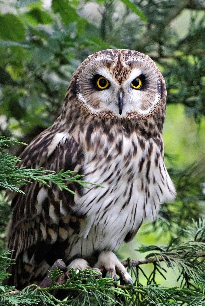 Short-eared Owl at British Wildlife Centre by Crestie Crazy  -