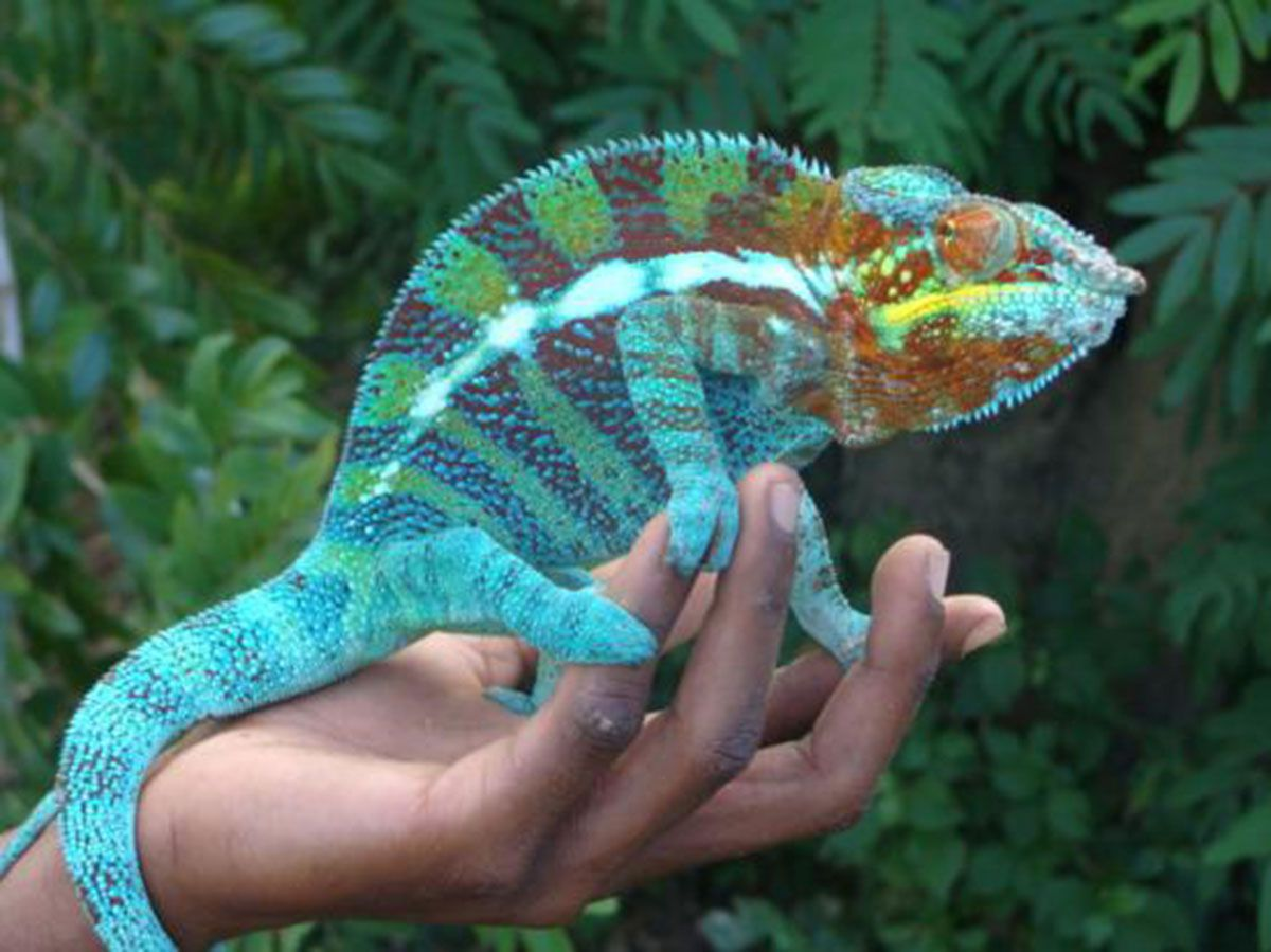 Comment le caméléon fait-il pour changer de couleur ? En ...