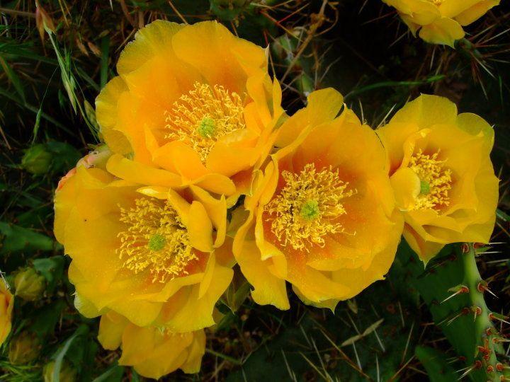 Cacti blooming at Colorado Bend State Park, TX