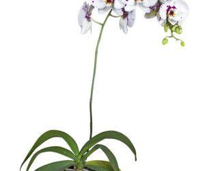 Come Curare Le Orchidee In Casa E In Balcone Phalaenopsis Cura
