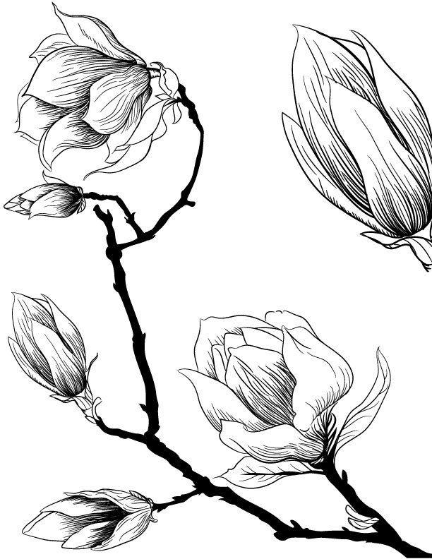 Fleurs De Magnolia A Imprimer Et Dessiner Pour Adulte