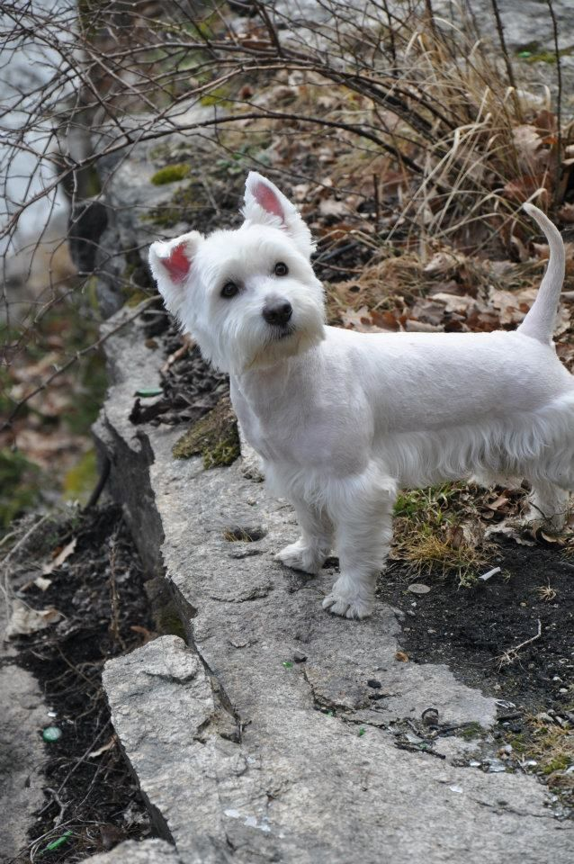 Love The Inquisitive Face Tipped Ear Westie Dogs Westie