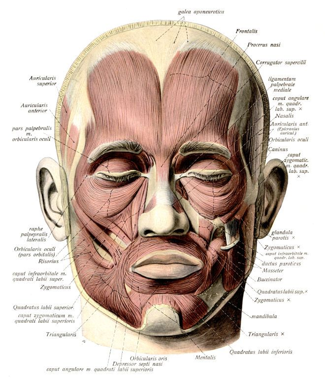 FREE CLIPARTS ANATOMY | Speech | Pinterest | Anatomy, Muscle and ...