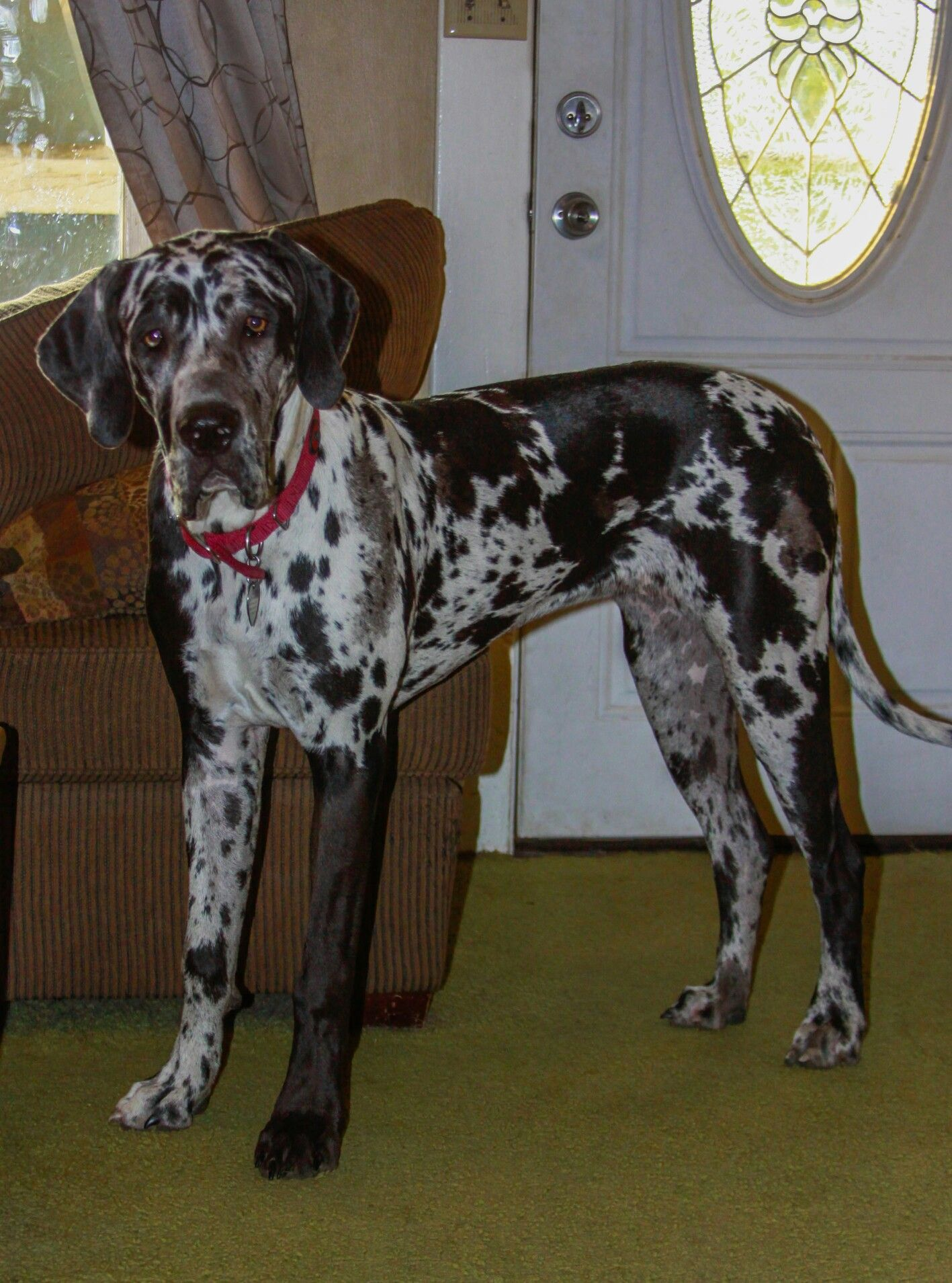 Callie 9 Month Old Daniff Great Dane Mastiff Mix Great Dane