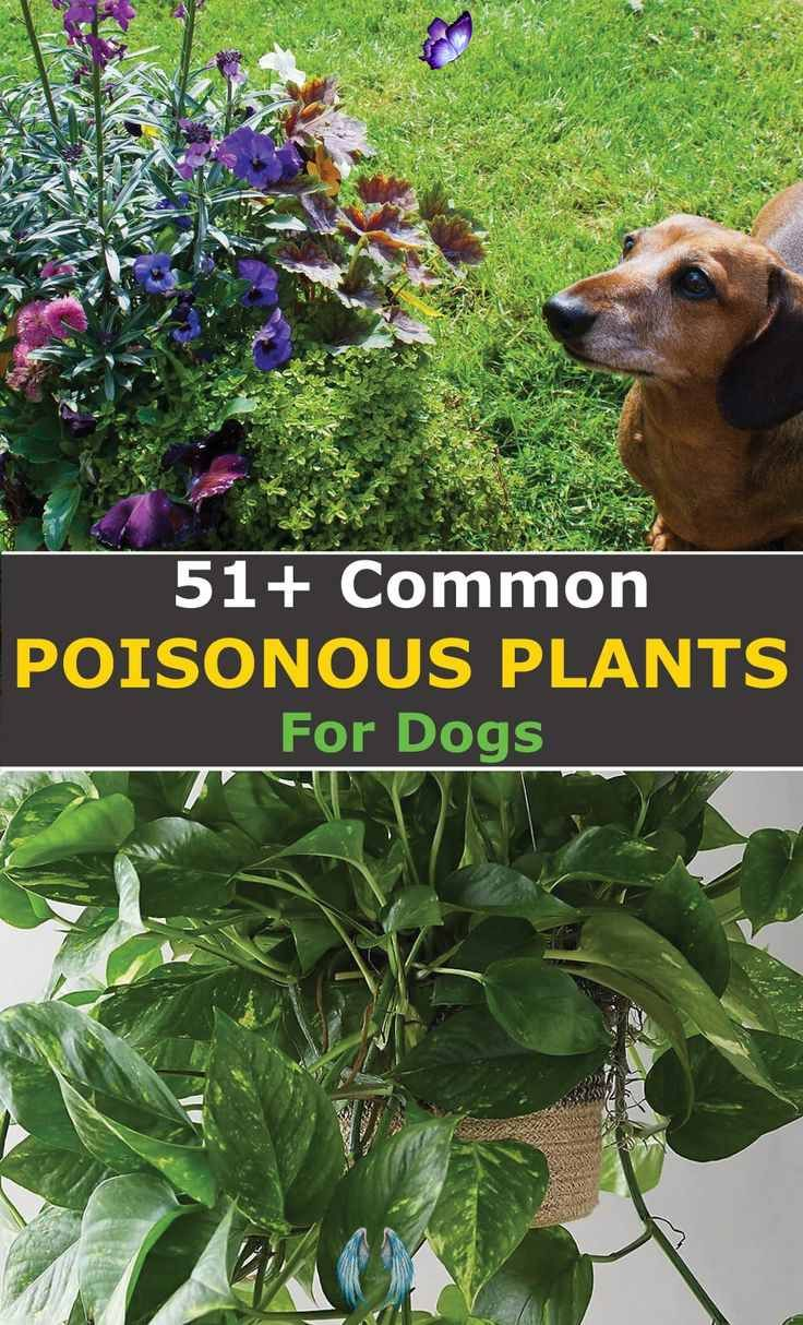 Pictures Of Berries That Are Poisonous To Dogs