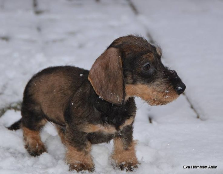 Kennel Engstorp Wiener Dogs Wire Haired Dachshund Weenie Dogs