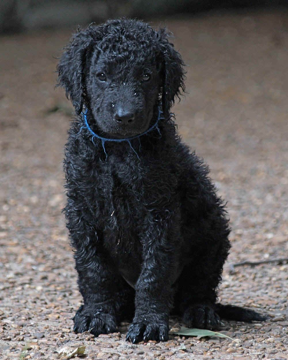 Curly Coated Retriever Dogs Puppy Curly Coated Retriever Dogs