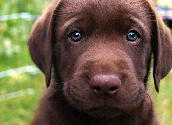 13beast Puppies Cute Dogs Lab Puppies
