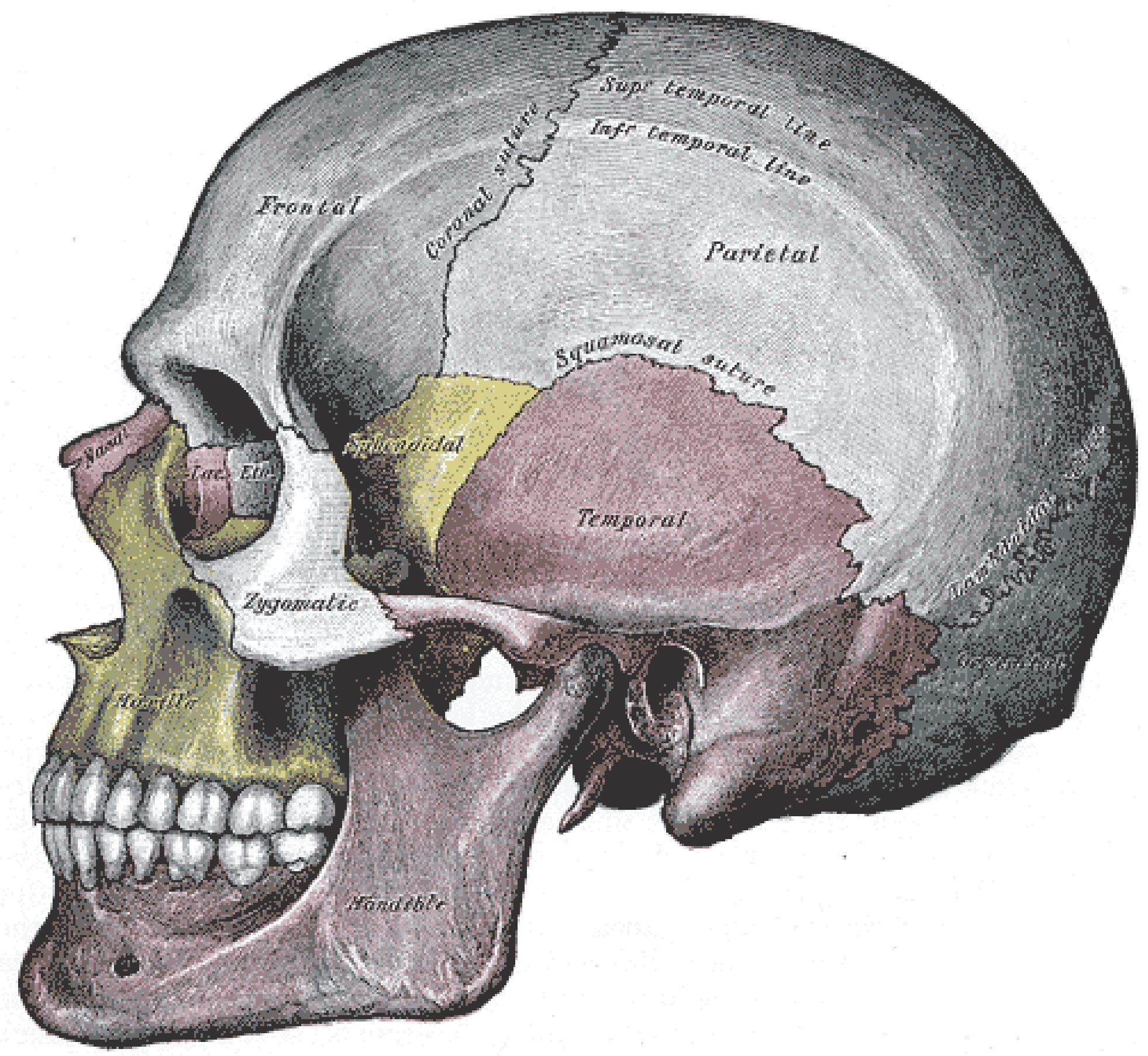 this image shows a side view of the human skull. the major parts, Human Body