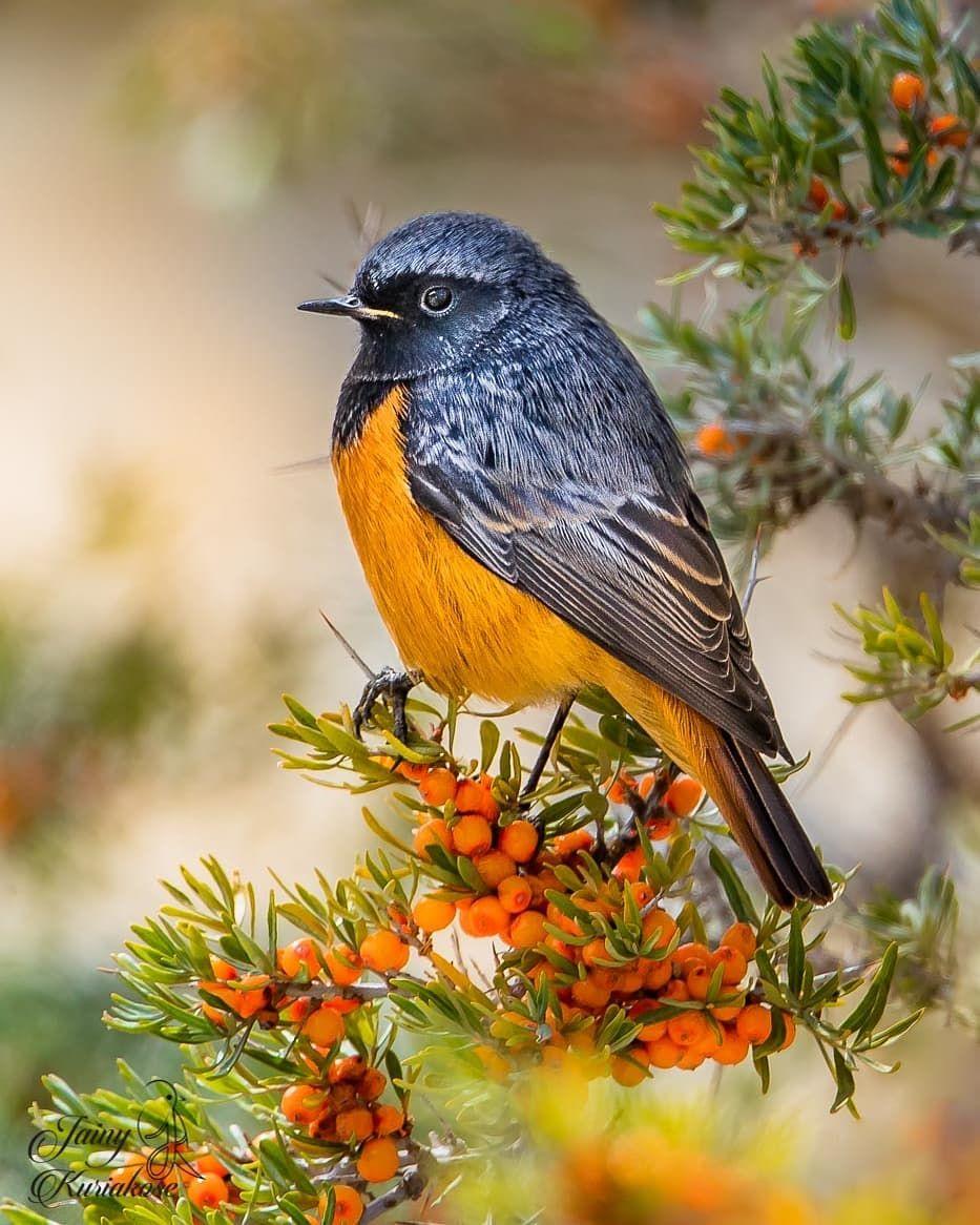 """Jainy Maria on Instagram: """"Black Redstart: Ladakh, India  #canongearshot #nuts_about_birds #eye_spy_birds #natgeoyourshot #natgeoimagecollection #natgeocreative…"""""""