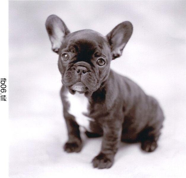 French Bulldog Puppy Con Immagini Cuccioli Di Bulldog Cani E
