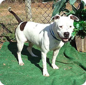 URGENT!!Marietta, GA Boxer Mix. Meet SPIKE, a dog
