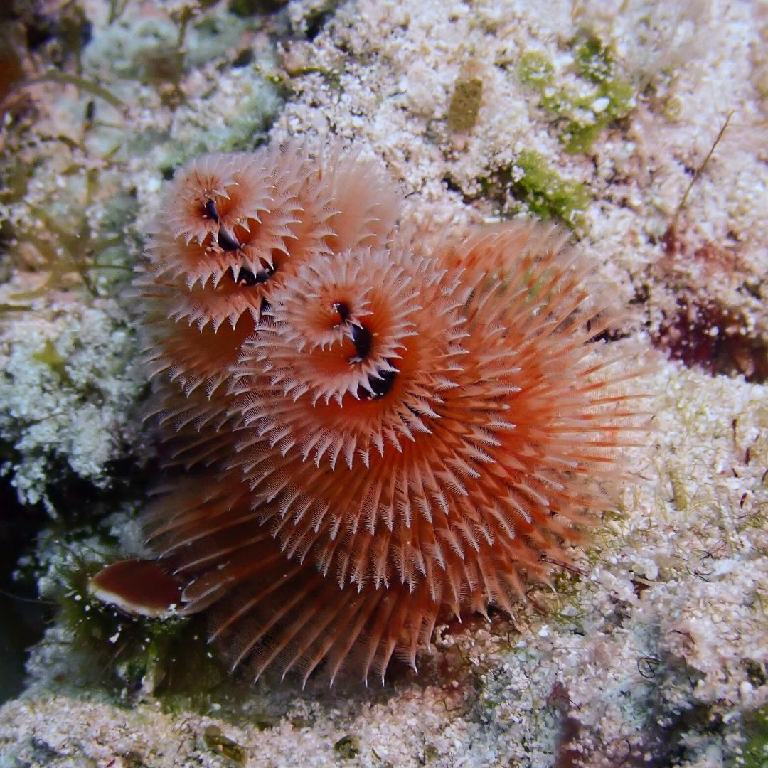 Christmas Tree Worms Never Fail To Make Divers Smile Did You Know That Once The Worm Makes Their Home The In 2020 Underwater World Ocean Conservation Coronado Island